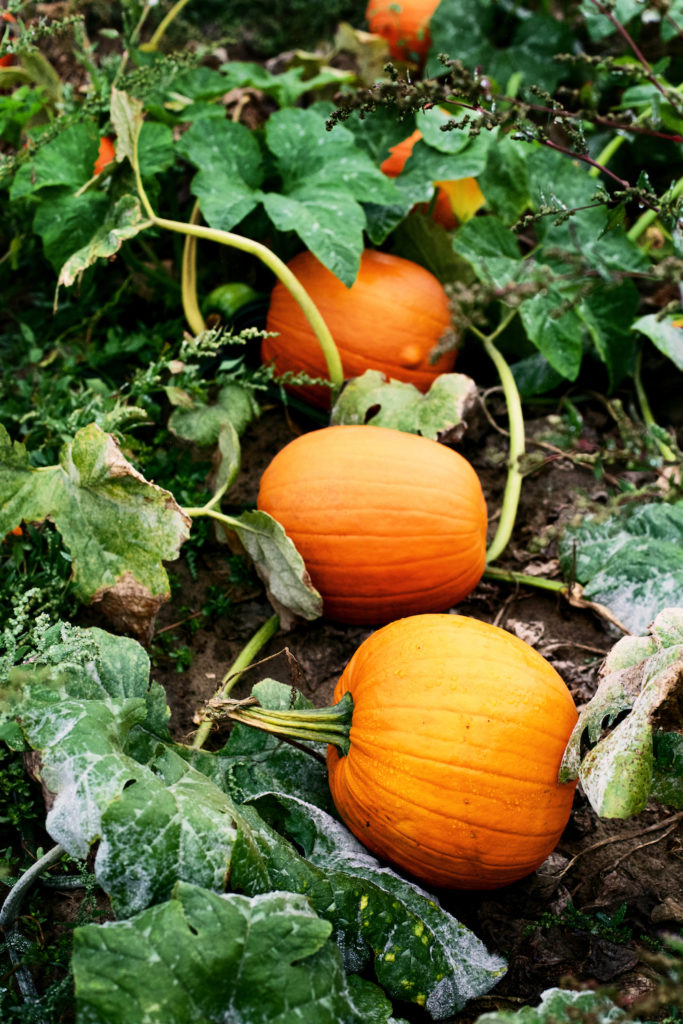 photo of a pumpkin patch for the purely pumpkin cookbook